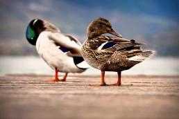 Canard bord du lac d'Annecy