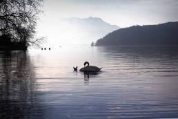 Cygne bord du lac d'Annecy