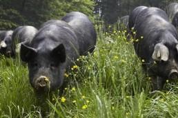 Boucher viande cochon Annecy